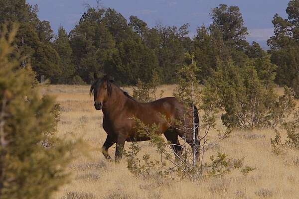 A wild stallion takes a stand near Big Sage Reservoir in Modoc National Forest, one of 5,000 wild horses in the area