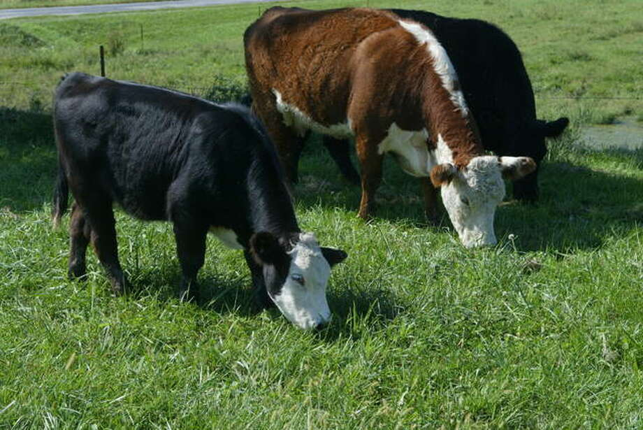 A Hereford cow and her spring calf graze in a pasture northwest of Jacksonville. Photo: Greg Olson | Journal-Courier