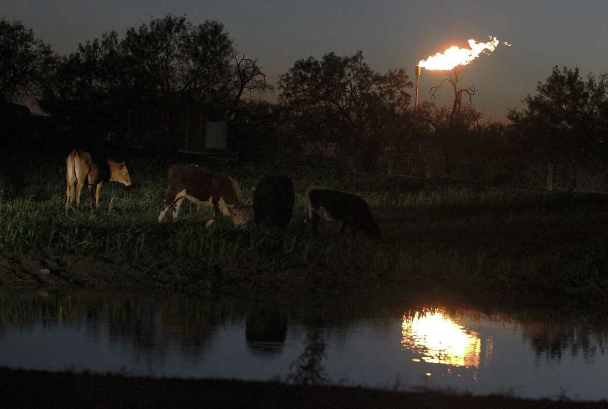Cattle roam next to a pond at dusk as a flare burns off excess gas at a nearby oil well site at the outskirts of Karnes City, Texas. (Kin Man Hui/San Antonio Express-News)