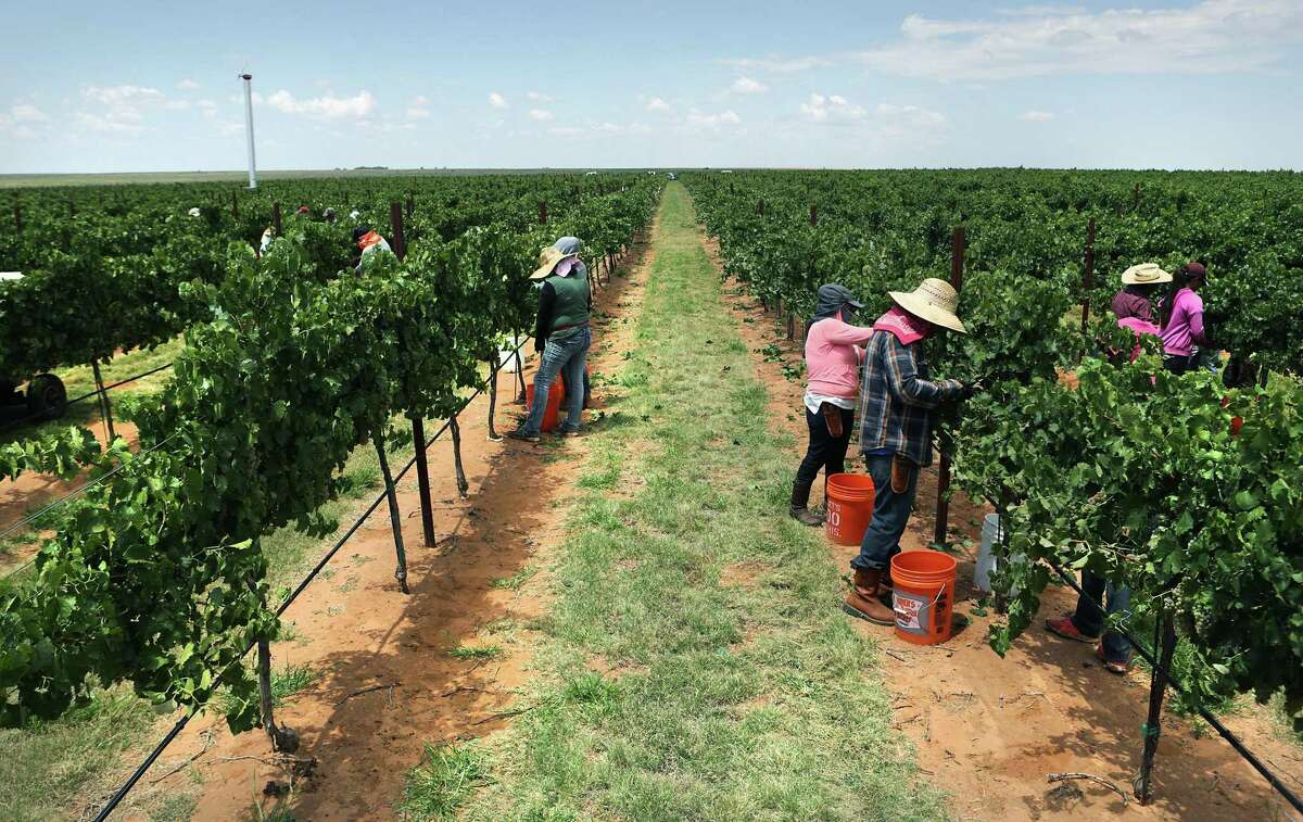 Migrant workers, hand harvests grapes on the Lahey Farms, near Brownsfield, TX on Wednesday, Aug. 9, 2017.