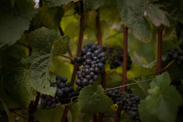 Pinot noir in the Pivot vineyard at Littorai Wines in Sebastopol, California. August 27, 2016.