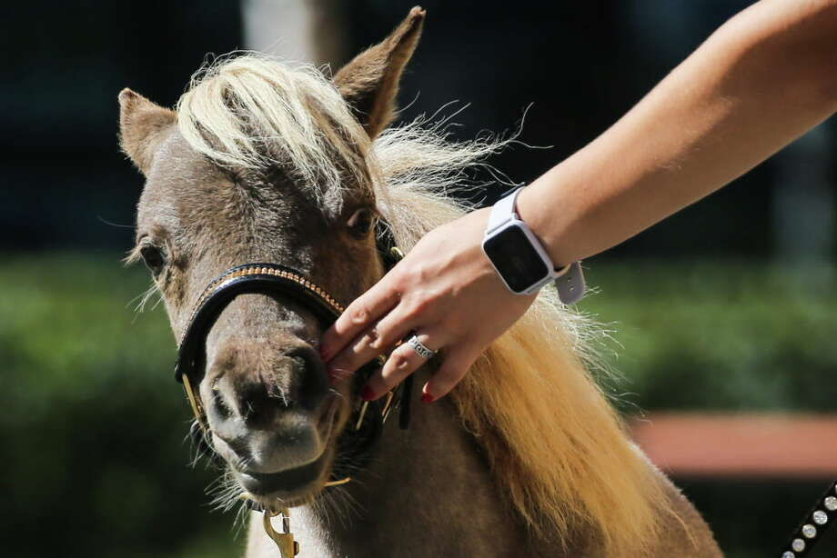 Miniature horses, like this one, are now allowed on Alaska Airlines flights if they are trained service animals. (Photo by Peter Kovalev\TASS via Getty Images) Photo: Peter Kovalev/Peter Kovalev/TASS