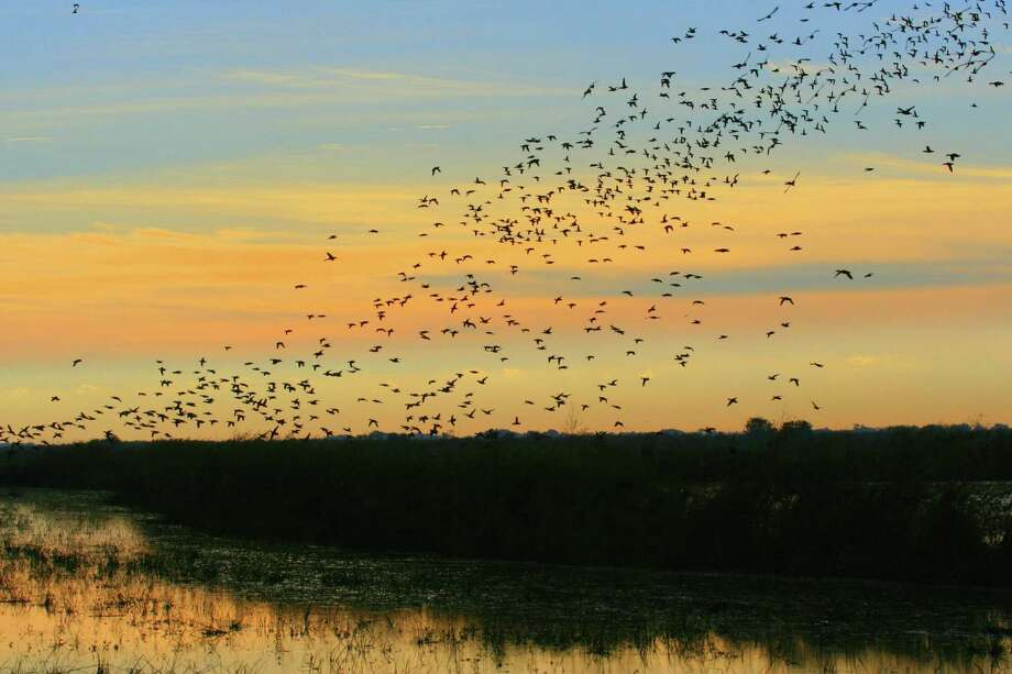 The first waves of blue-winged teal, among the earliest migrating waterfowl, are arriving on Texas recently rain-refreshed coastal wetlands. Photo: Shannon Tompkins / Houston Chronicle / Houston Chronicle