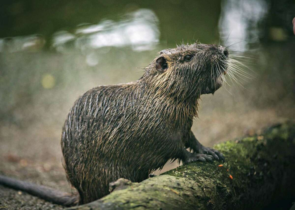 Nutria, also known as a swamp rat, is a semiaquatic rodent native to South America.
