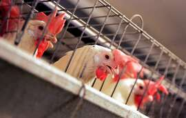 This Sept. 10, 2008, file photo shows chickens huddling in their cages at an egg processing plant at the Dwight Bell Farm in Atwater, Calif. The future of state laws that regulate everything from the size of a hen�s cage to safe consumption of Gulf oysters may be at stake as farm bill negotiators work to resolve a long-simmering fight between agriculture and animal welfare interests.  (AP Photo/Marcio Jose Sanchez File)
