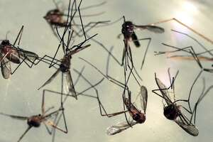 In this Wednesday, Sept. 8, 2010 photo, Cattail mosquitoes are seen in a petri dish for inspection at the Maine Medical Center Research Institute in South Portland, Maine. Cattail mosquitoes are one of at least three species that can transmit EEE to humans. (AP Photo/Pat Wellenbach)