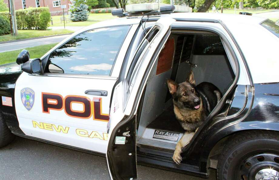 Apollo, the only dog in New Canaan's K-9 unit, in the specialized K-9 patrol car in New Canaan, CT, on Wednesday, July 27, 2016. Photo: Erin Kayata / Hearst Connecticut Media / New Canaan News