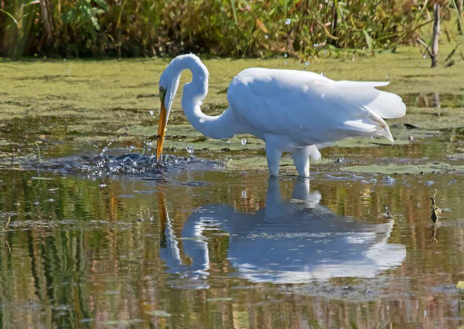 This Great Egret was recently spotted fishing for it's dinner at Fish Point Wildlife Area, near Unionville. Photo: Bill Diller/For The Tribune