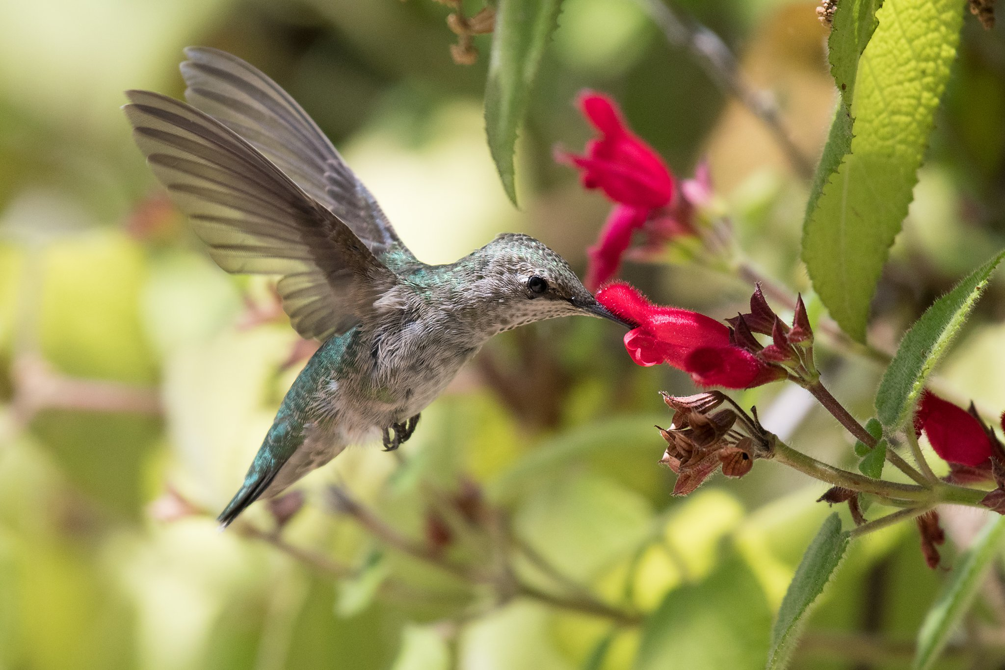 humm baby! attract hummingbirds to your home garden
