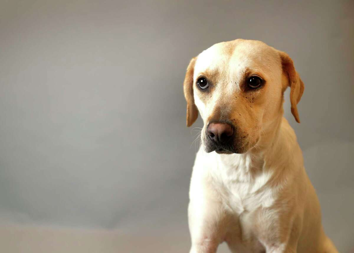 MILLIE (Animal ID: 361492) Millie is a 2-year-old spayed female, Lab mix is available for adoption ($45.00) from the Houston SPCA.