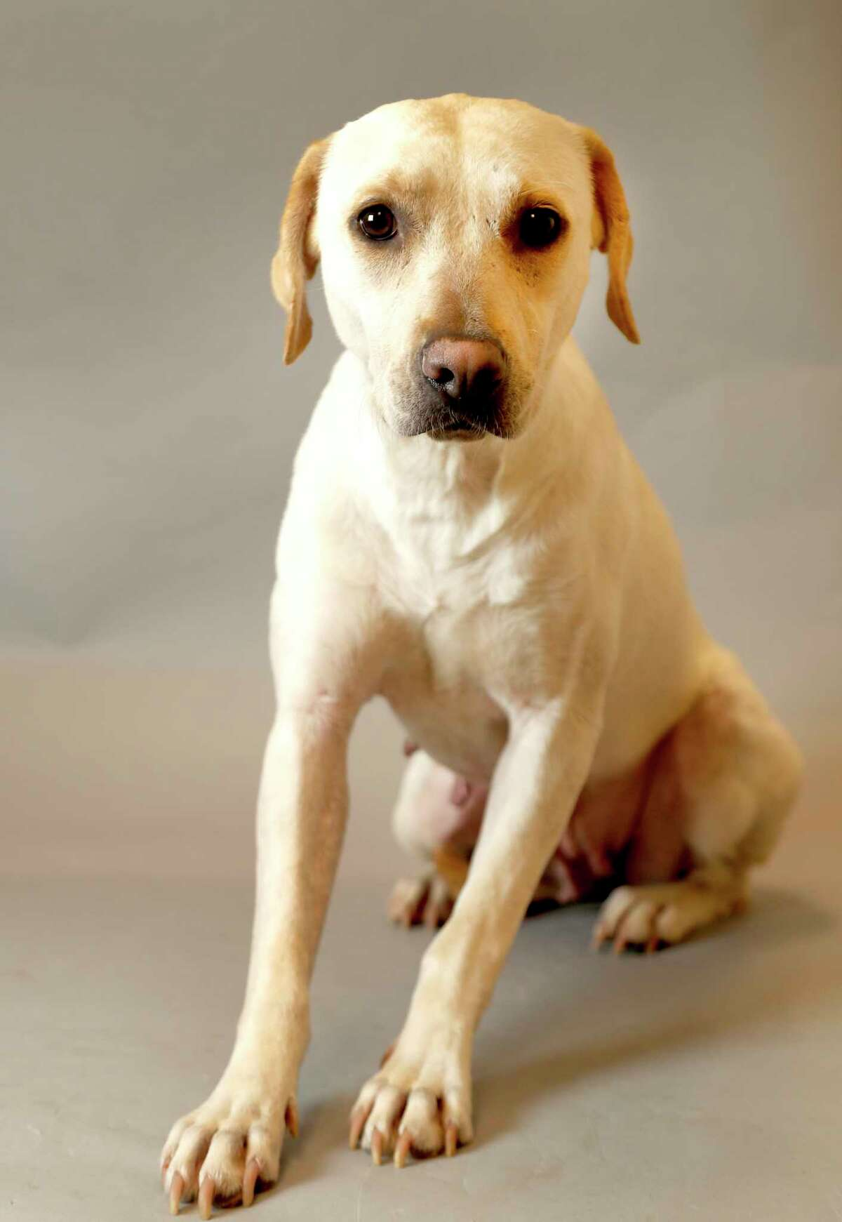 MILLIE (Animal ID: 361492) Millie is a 2-year-old spayed female, Lab mix is available for adoption ($45) from the Houston SPCA.