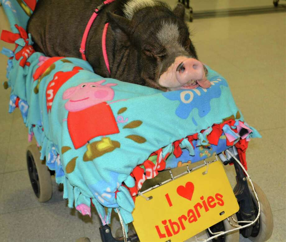 The pig Daisy II enjoys libraries. She helps Farmer Minor share his love of reading with students across the country. Photo: Leslie Hutchison / Hearst Connecticut Media /