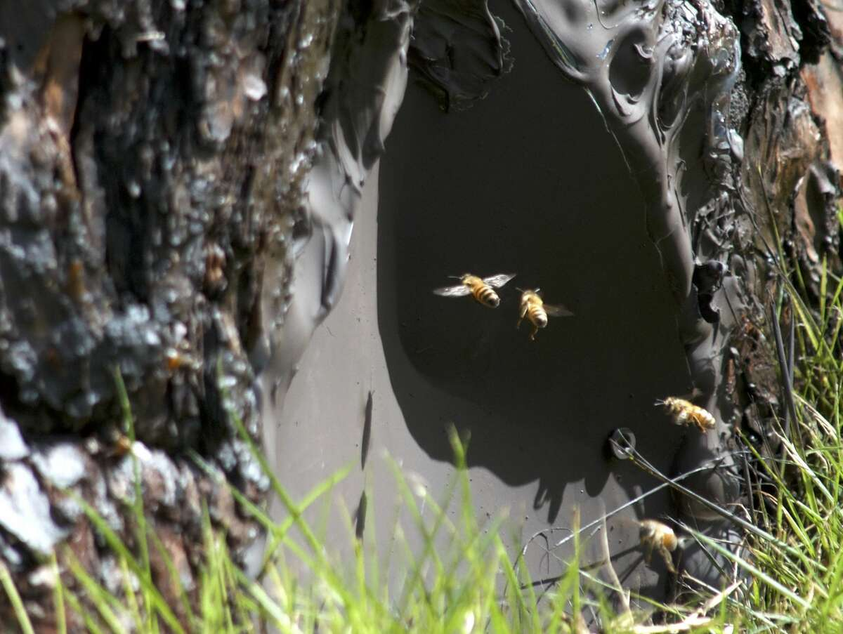 Africanized bees swarm a hive located in a tree in the 3300 block of Ella Lee Lane. >>CAREFUL OUT THERE: The most venomous animals in Texas