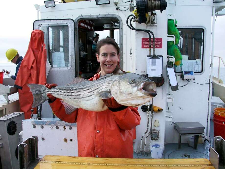 Contributed Photo\Conn. Dept. of Environmental Protection An unidentified seasonal worker with the state Department of Environmental Protection hefts a large striped bass that was recovered in one of the DEP's periodic troll surveys. These surveys, conducted several times a year, have revealed that the numbers of warm-water and even tropical species are on the increase in Long Island Sound. Photo: Contributed Photo\Conn. Dept. Of Environmental Protection / Connecticut Post Contributed