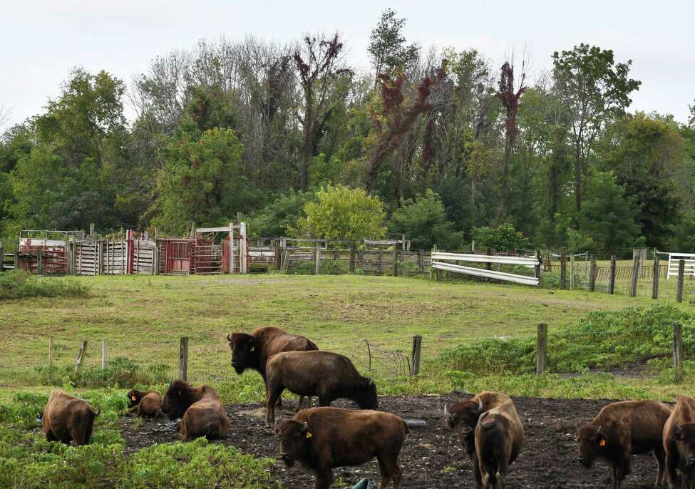Buffalo graze at Gem Farms on Thursday, Oct. 4, 2018, in Schodack, N.Y. The Mesick family's 555-acre farm was entered into a land development protection program through the Agricultural Stewardship Association and Scenic Hudson. (Will Waldron/Times Union)