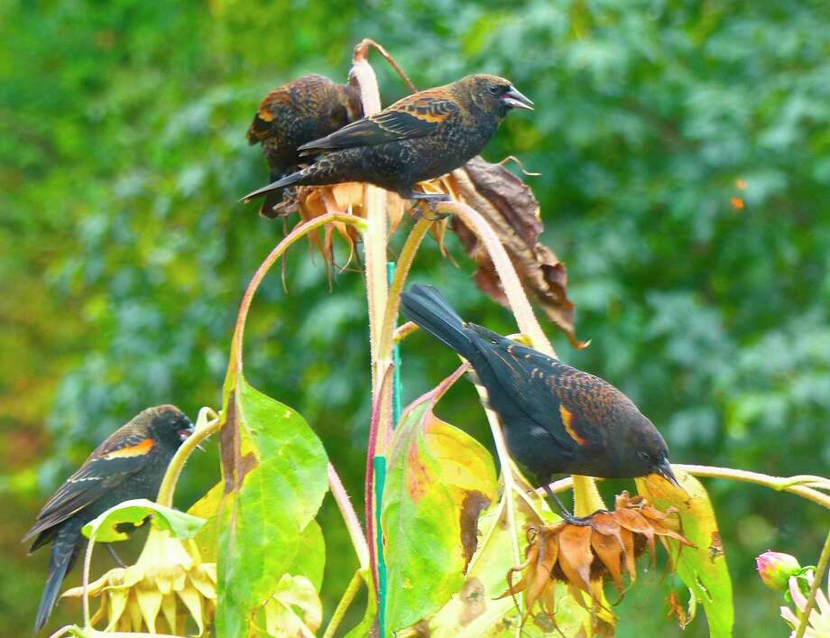 This photo taken Sept. 23, 2016, near Langley, Wash., shows blackbirds feeding from sunflower seed pods in a residential garden. A variety of landscape plants are important when creating wildlife habitat. (Dean Fosdick via AP) Photo: Dean Fosdick / Dean Fosdick