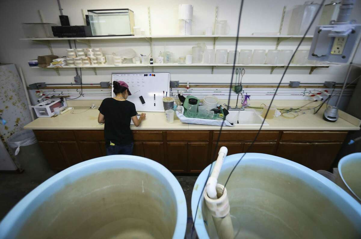 In this Monday, Sept. 24, 2018 photo, Zhenxin Hou, a PhD student at The University of Texas Marine Science Institute (UTMSI), studies weeks old red drum stock inside a tank at the Fisheries and Mariculture Lab, in Port Aransas, Texas. The campus was devastated by Hurricane Harvey last year, forcing faculty and students to relocate to facilities at Texas A&M Corpus Christi. Everyone is now back on campus for the fall, some in their permanent spaces and others in temporary ones, as work is completed. (Mark Mulligan/Houston Chronicle via AP)