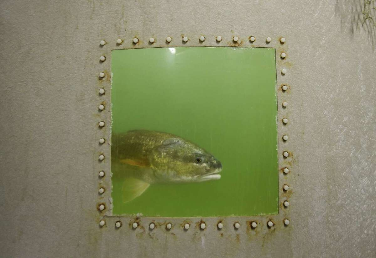 In this Monday, Sept. 24, 2018 photo, red drum brood stock swim in a tank at The University of Texas Marine Science Institute (UTMSI) Fisheries and Mariculture Lab, in Port Aransas, Texas. Red fish are being used in a lot of research at the lab. The campus was devastated by Hurricane Harvey last year, forcing faculty and students to relocate to facilities at Texas A&M Corpus Christi. Everyone is now back on campus for the fall, some in their permanent spaces and others in temporary ones, as work is completed. (Mark Mulligan/Houston Chronicle via AP)