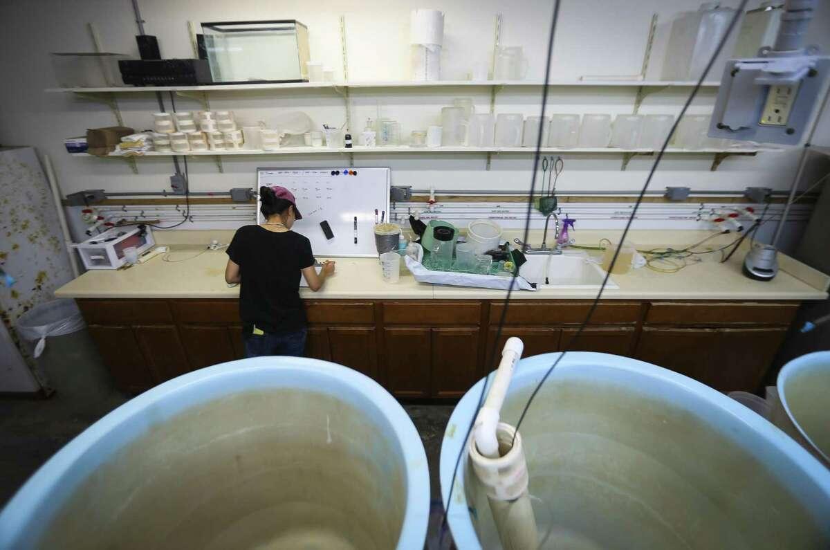 Zhenxin Hou, a PhD student at The University of Texas Marine Science Institute (UTMSI), studies weeks old Red drum stock inside a tank at the Fisheries and Mariculture Lab, Monday, Sept. 24, 2018 in Port Aransas. The campus was devastated by Hurricane Harvey last year, forcing faculty and students to relocate to facilities at Texas A&M Corpus Christi. Everyone is now back on campus for the fall, some in their permanent spaces and others in temporary ones, as work is completed.