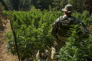 A Mendocino County Sheriff's official survey the field filled with marijuana plants on Wednesday, Aug. 23, 2017, in Willits, Calif. A search warrant led by the Mendocino County Sheriff's Department found more than 800 marijuana plants.