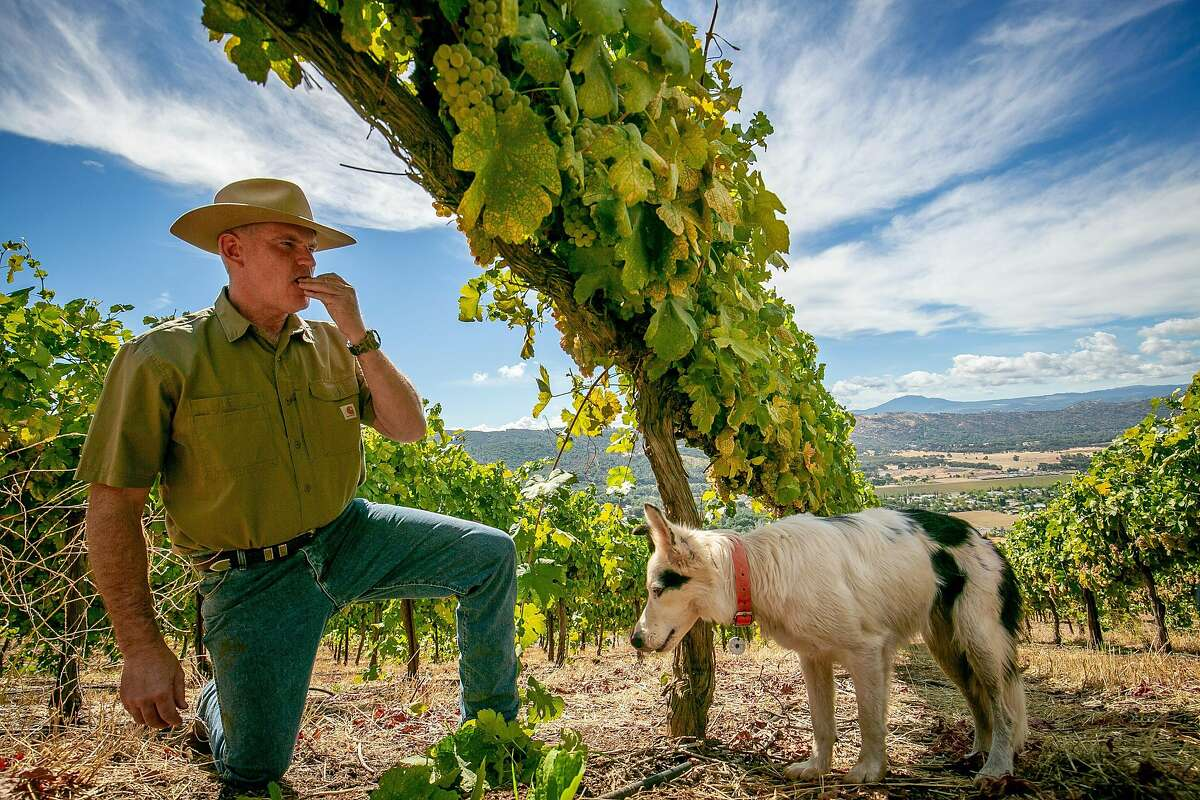 Clay Shannon with his dog Cricket checks on Roussanne grapes in the Shannon Ridge Home Vineyard in Clearlake Oaks, Calif. on October 5th, 2018.