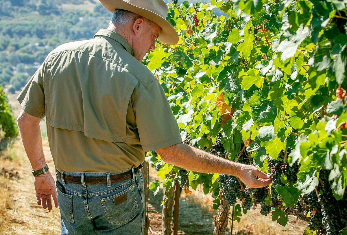 Clay Shannon checks his vineyard planted with Petite Sirah grapes in Clearlake Oaks, Calif. on October 5th, 2018. These grapes were refused by Constellation.