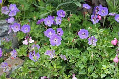 Geranium 'Rozanne.' Photo: Annie's Annuals & Perennials