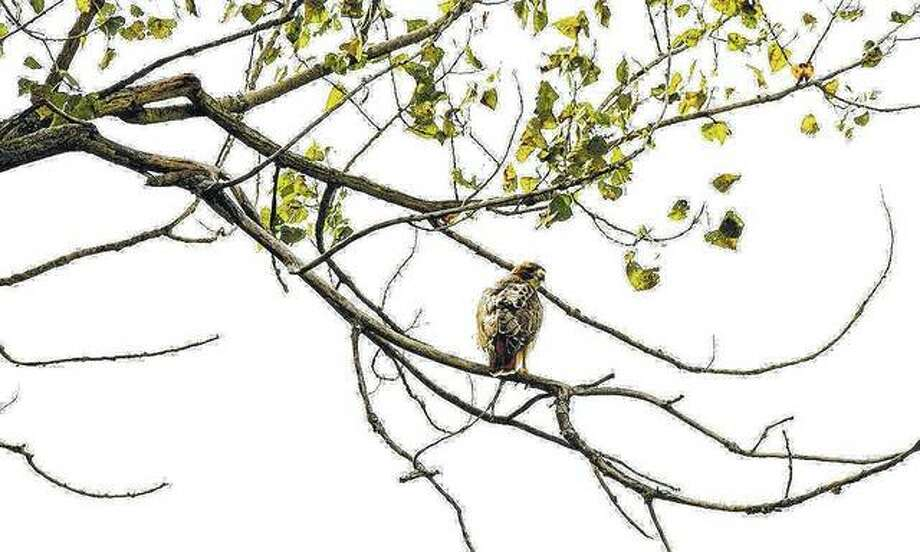 A hawk uses its vantage point from a tree branch to hunt for prey.