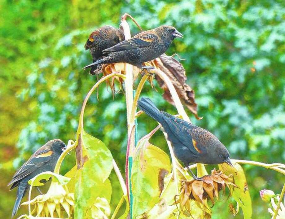 Blackbirds feed from sunflower seed pods in a residential garden near Langley, Washington. A variety of landscape plants are important when creating wildlife habitat. Photo: Dean Fosdick Via AP