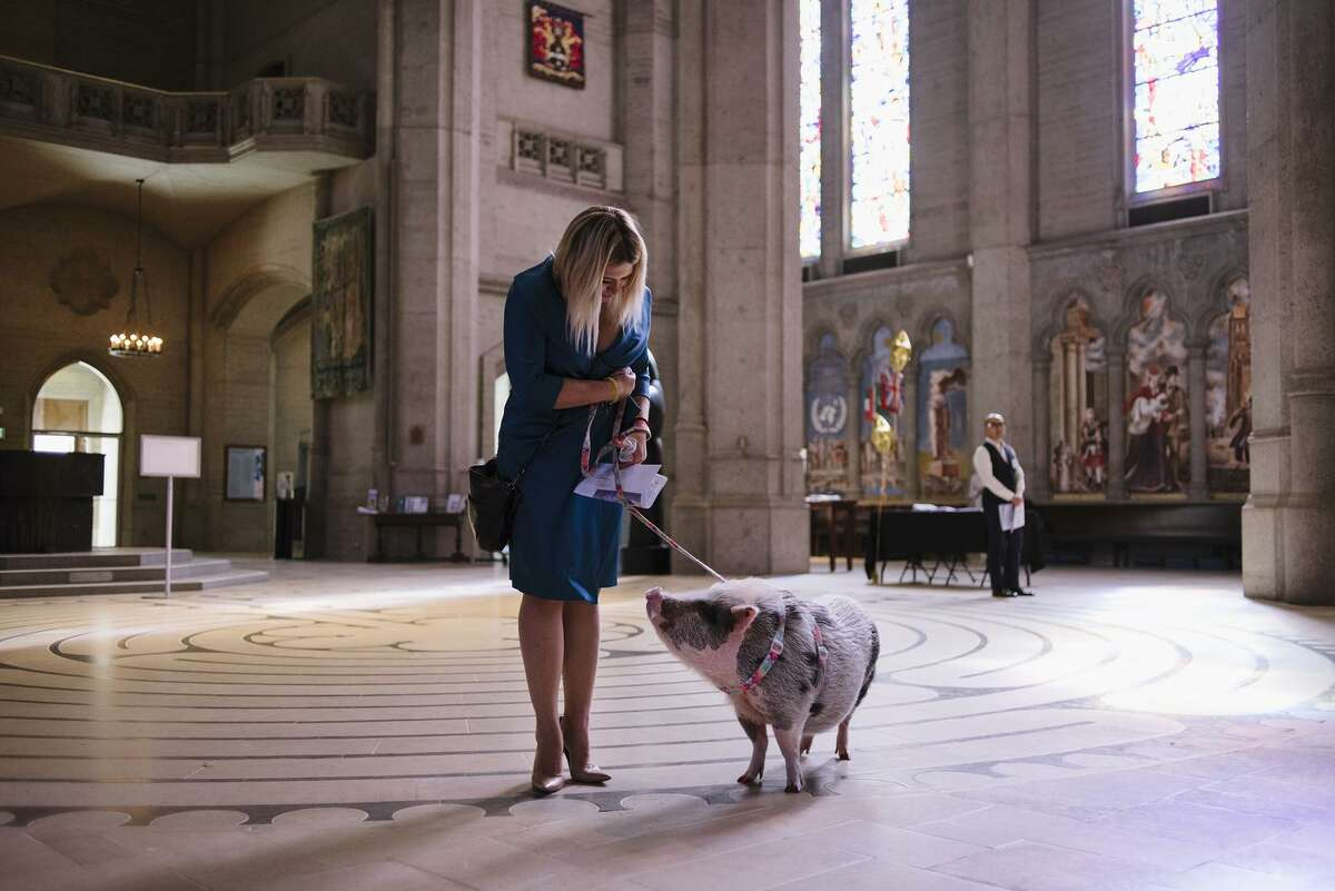 Tatyana Danilova and her 90-pound therapy pig, LiLou, turn for the St. Francis ceremony at Grace Cathedral.