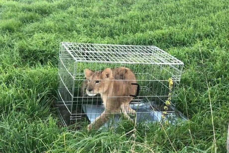 Police have taken to Twitter to appeal for help in tracing the animal's owner, while the young cub, a male believed to be about five months old, is being cared for by a foundation that looks after big cats. Photo: Politie Stichtse Vecht