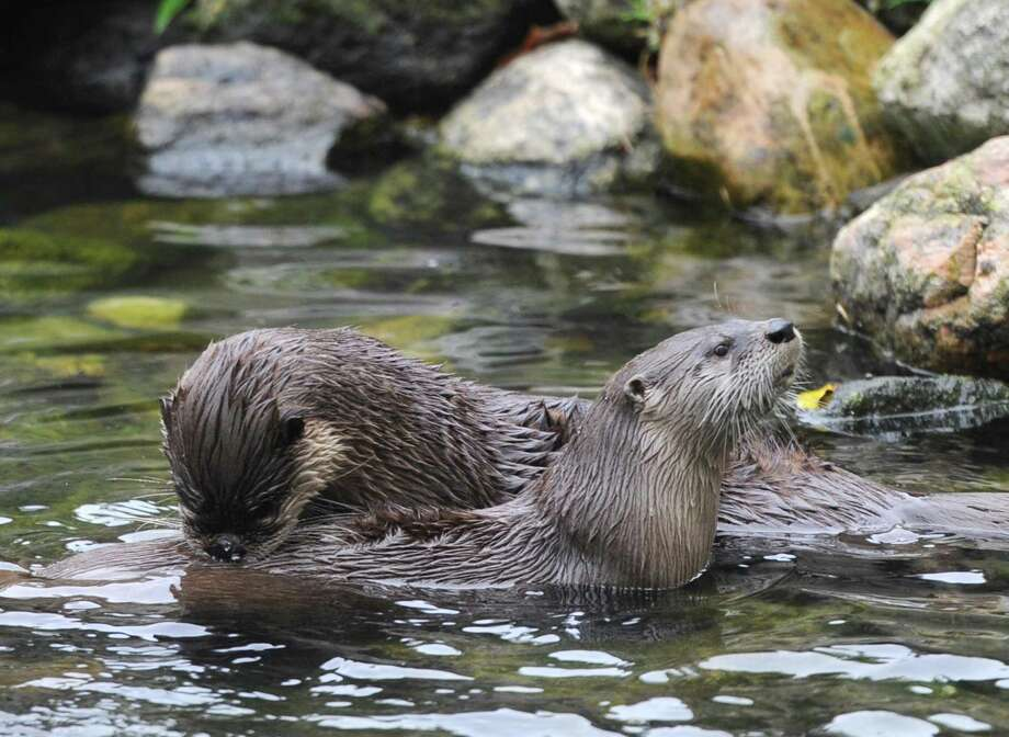 "River otters play during the otter feeding for ""Fall Breakout Day: Animals and Art"" at the Stamford Museum & Nature Center in Stamford, Conn. Monday, Oct. 8, 2018. The event celebrated the 40th Anniversary of the Loft Artist Association with hands-on art activities, farm tours, an ice cream sundae bar and otter feeding. Photo: Tyler Sizemore / Hearst Connecticut Media / Greenwich Time"