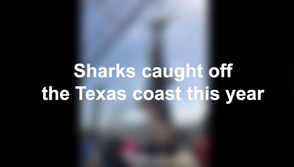 Click ahead to view the sharks caught off the Texas coast this year