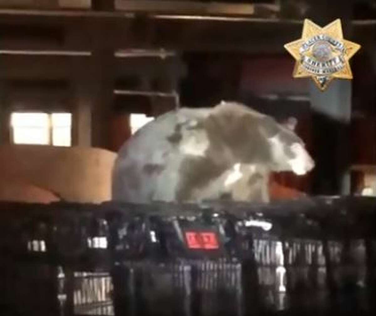 FILE - In October 2018, the Placer County Sheriff's Office posted this video of a black bear apparently seeking food at a Tahoe City grocery store.