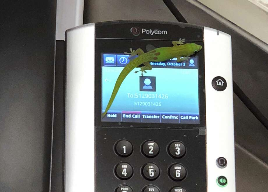 This Oct. 3, 2018, photo provided by The Marine Mammal Center hospital director Claire Simeone shows a gecko on a phone at the center in Kailua Kona, Hawaii. The gecko is the culprit in making numerous calls in the phones' recent call history with his tiny feet. (Clair Simeone/The Marine Mammal Center via AP) Photo: Claire Simeone/AP