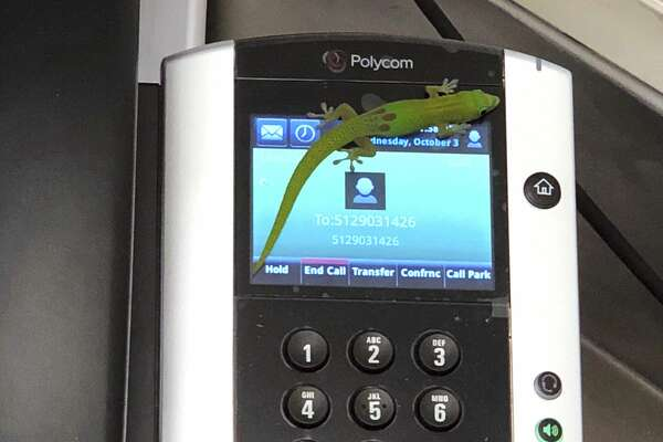 This Oct. 3, 2018, photo provided by The Marine Mammal Center hospital director Claire Simeone shows a gecko on a phone at the center in Kailua Kona, Hawaii. The gecko is the culprit in making numerous calls in the phones' recent call history with his tiny feet. (Clair Simeone/The Marine Mammal Center via AP)