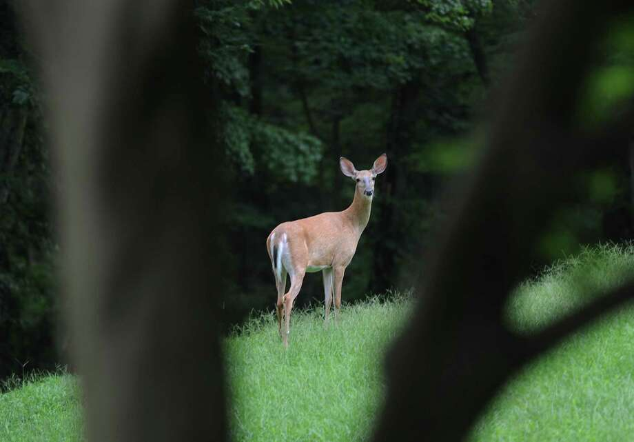 A white-tailed deer stands in a yard in the Cos Cob neighborhood of Greenwich, Conn. Tuesday, Aug. 7, 2018. Photo: Tyler Sizemore / Hearst Connecticut Media / Greenwich Time