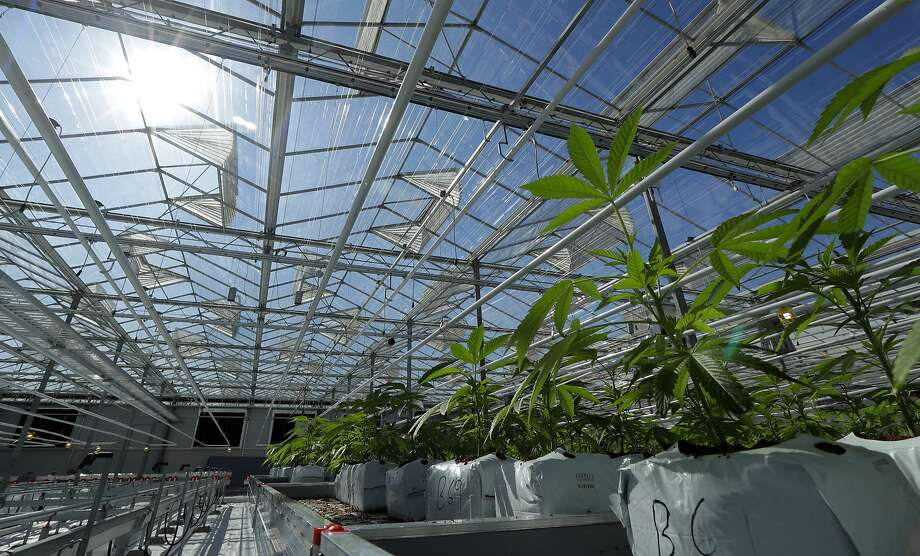 In this Sept. 25, 2018 photo, marijuana plants are shown growing in a massive tomato greenhouse being renovated to grow pot in Delta, British Columbia, that is operated by Pure Sunfarms, a joint venture between tomato grower Village Farms International, and a licensed medical marijuana producer, Emerald Health Therapeutics. On Oct. 17, 2018, Canada will become the second and largest country with a legal national marijuana marketplace. (AP Photo/Ted S. Warren) Photo: Ted S. Warren, Associated Press