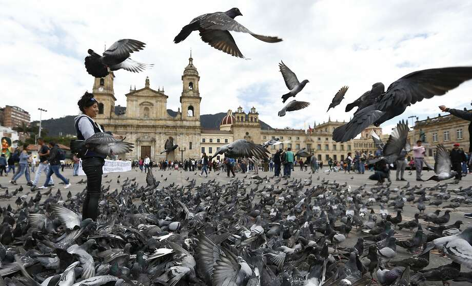 Bogota's government is trying to fight pigeon overpopulation through educational campaigns. Photo: Fernando Vergara / Associated Press