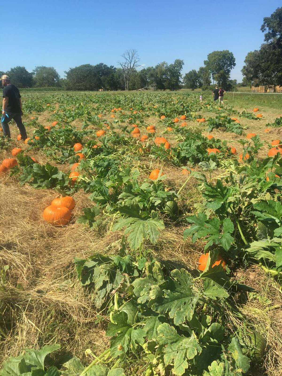 Sept. 28-Nov. 9: P-6 Farms in Montgomery lets you pick your own pumpkin during its fall festival and corn maze and features festival games, farm animals, food and more.