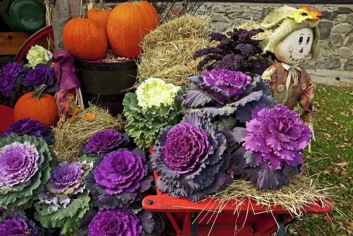 Plant ornamental kale and cabbages in October. The plants are available in several shades of green, silver and maroon.