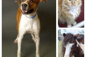 Pets of the Week-Houston Humane Society pow1010. Photographed, Wednesday, October 10, 2018, in Houston.