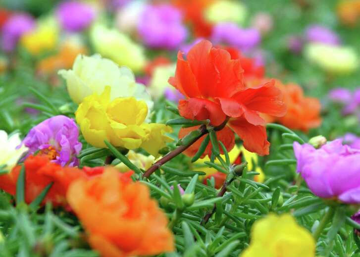 As temperatures begin to drop in early to mid-fall, moss rose flower production sinks.