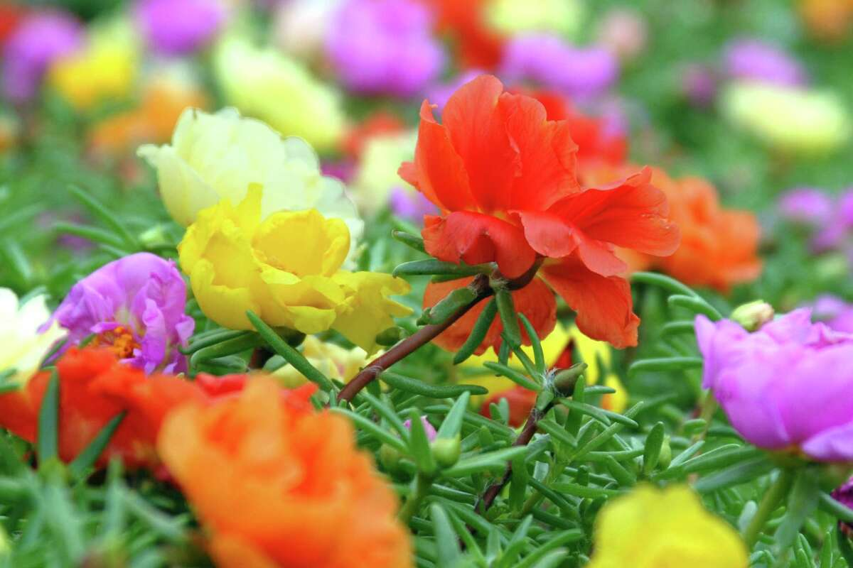 Fall Sounds The Death Knell For San Antonios Moss Roses