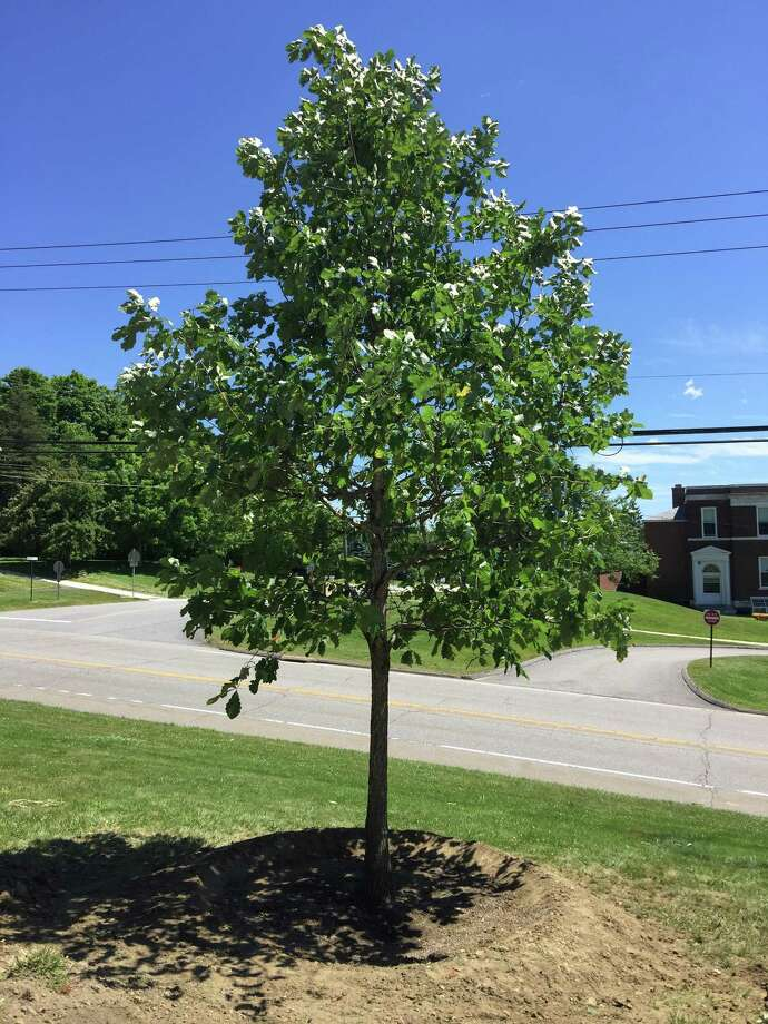 Kent Greenhouse landscapers recently planted new trees on West STreet, thanks to grants and funding from the Litchfield Garden Club. Photo: Litchfield Garden Club / Contributed Photo