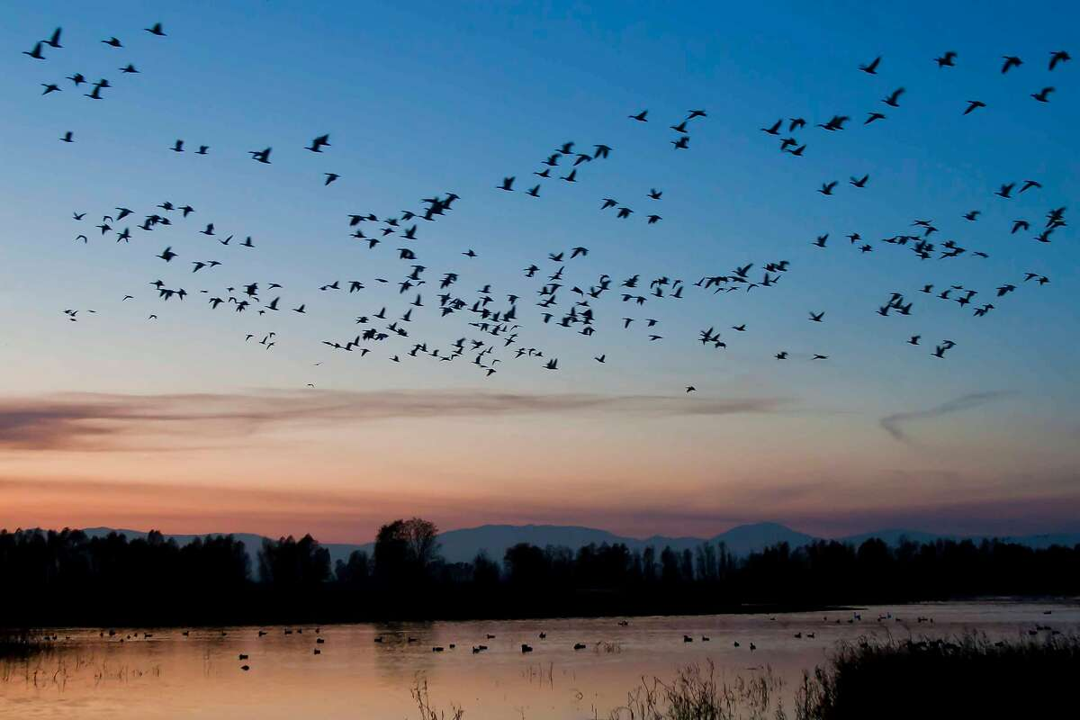 At dusk at Colusa National Wildlife Refuge, large flock of geese rises into the evening sky
