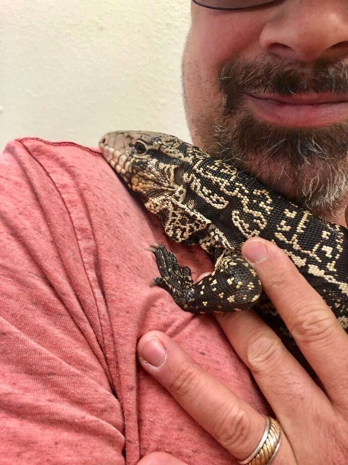 The lizard, Dottie, was found Wednesday on the golf course at Brackenridge Park. One of the owner's family members saw a news story about the lizard and notified the owner, who then contacted Animal Care Services and claimed his pet. Photo: Animal Care Services