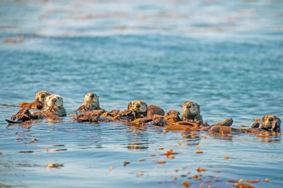 "Sea otters are among the creatures you'll meet in ""Oceans: Our Blue Planet,"" the new IMAX film at the Maritime Aquarium at Norwalk, running through March 14, 2019. Photo: © BBC / Contributed Photo"