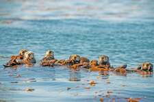 """Sea otters are among the creatures you'll meet in """"Oceans: Our Blue Planet,"""" the new IMAX film at the Maritime Aquarium at Norwalk, running through March 14, 2019."""