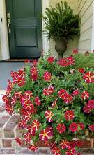 Amore Queen of Hearts petunias are deep crimson and cream.